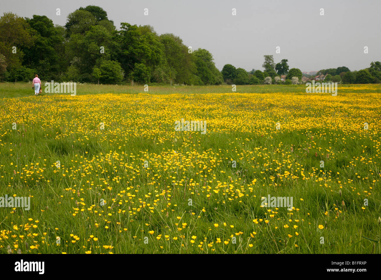 Buttercups on Foots Cray Meadows, Sidcup, Kent Stock Photo