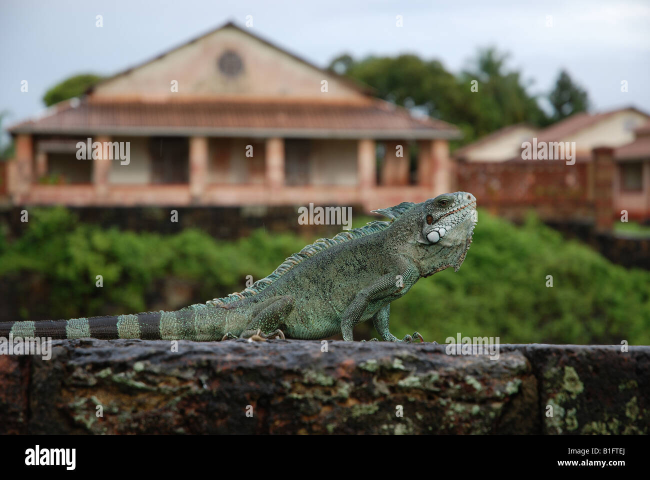 iguan on a rockwall by the sun - Stock Image
