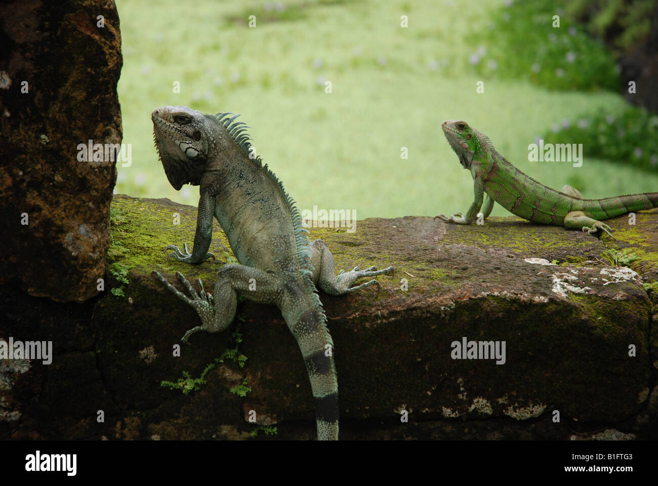 iguans on a rockwall by the sun - Stock Image