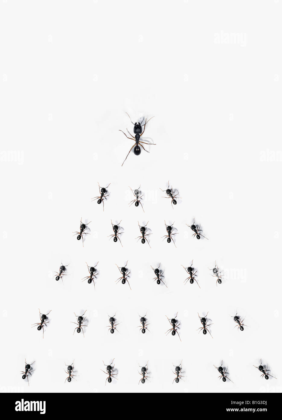 Large ant leading a group of smaller ants - Stock Image
