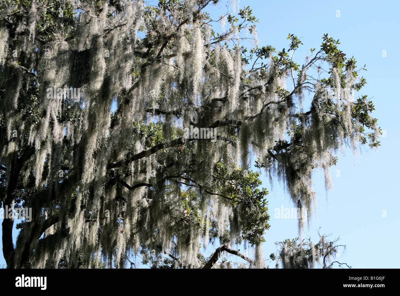 spanish moss growing on trees at central florida lake dora