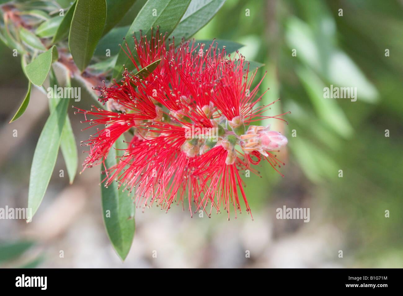 Bottlebrush Callistemon Myrtaceae - Stock Image