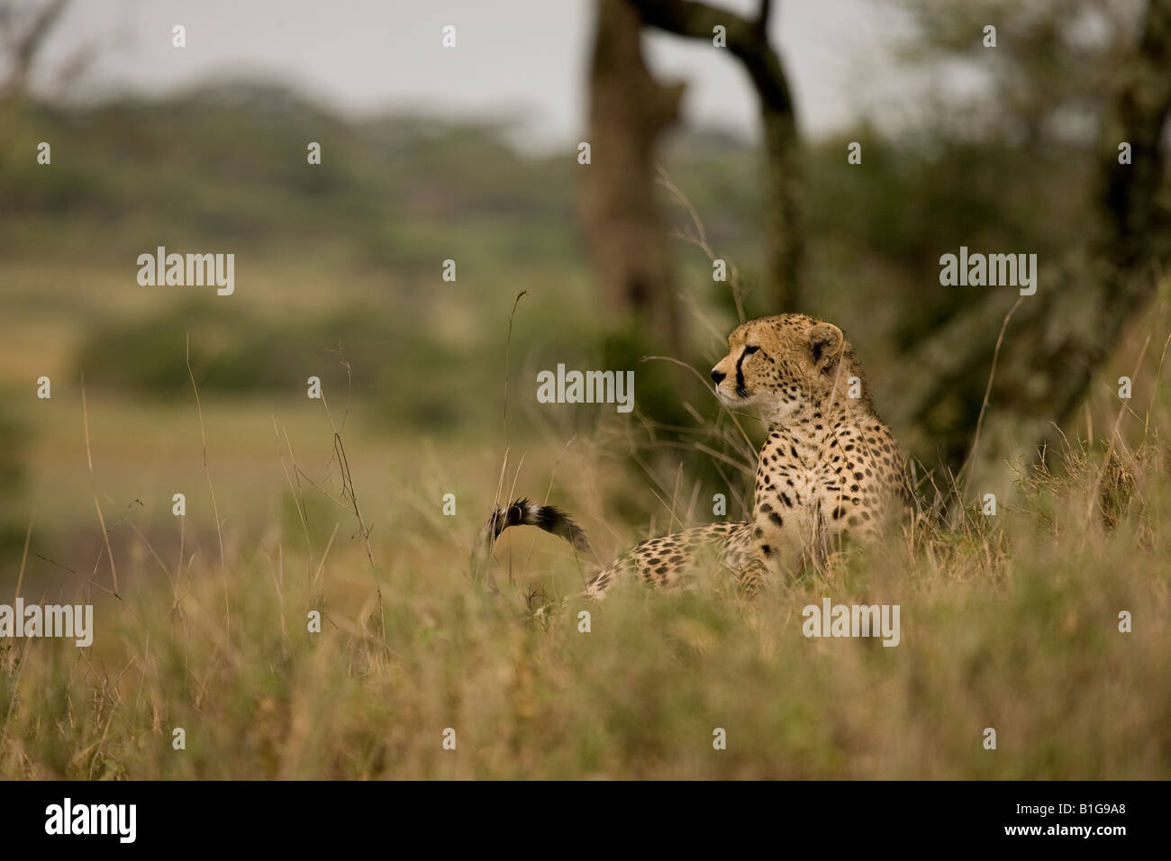 Cheetah lying in the grass in the Ndutu region of the Ngorongoro Conservation Area of Tanzania in East Africa - Stock Image