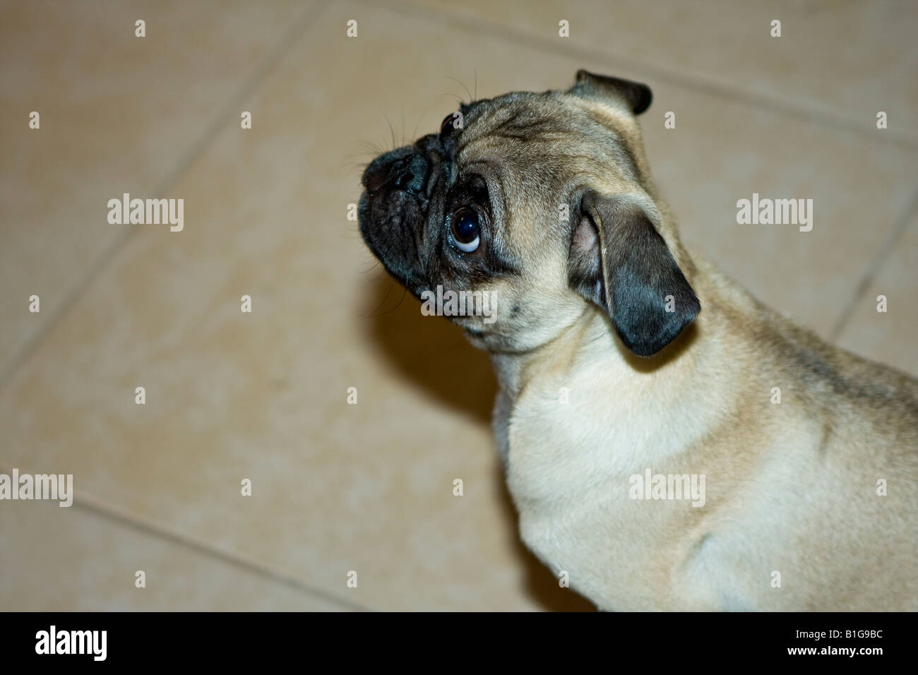 Pug Dog Portraits - Stock Image