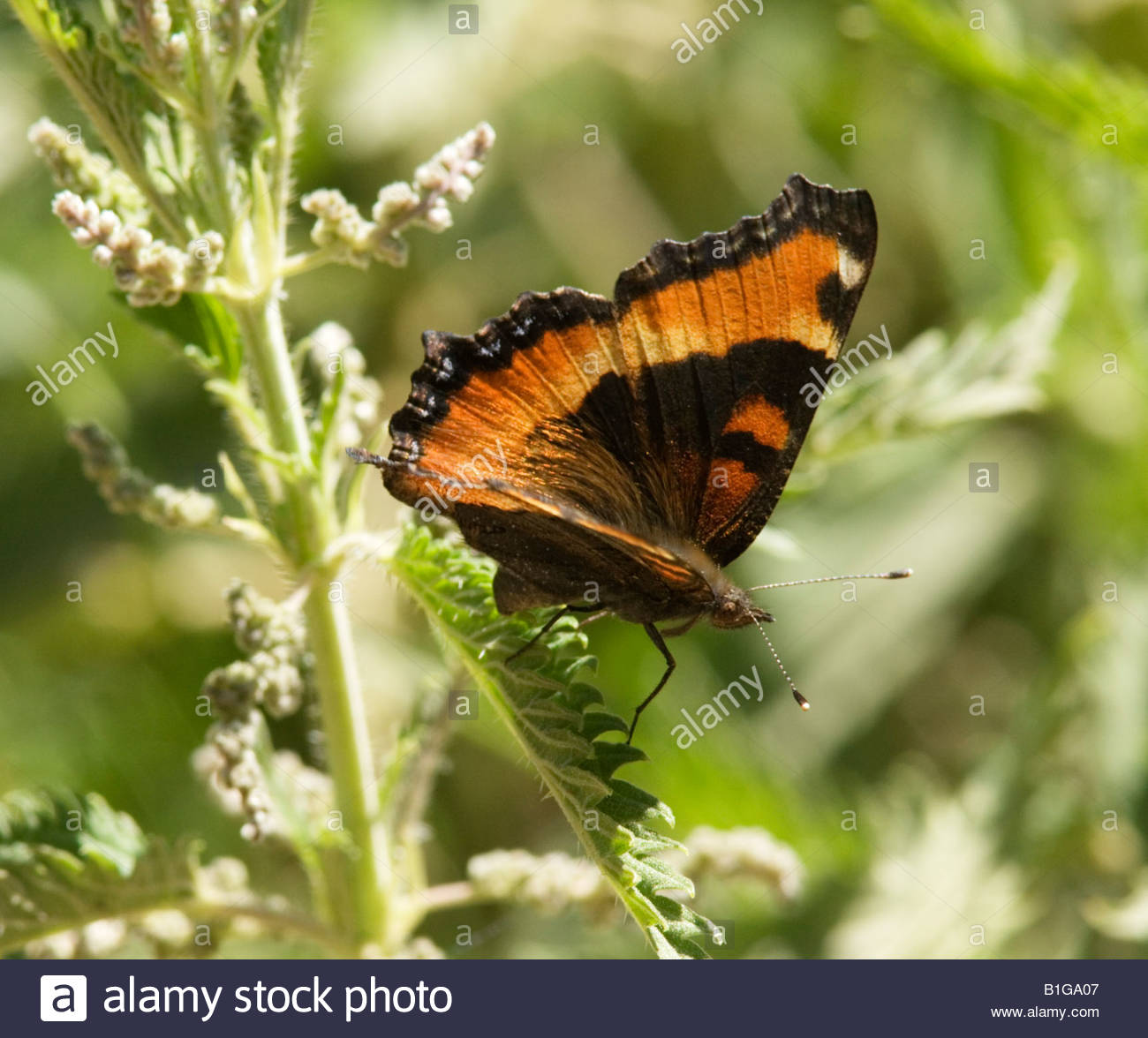 Milbert's Tortoiseshell Nymphalis milberti Butterfly  Nymphalidae Subfamily Nymphalinae Stock Photo
