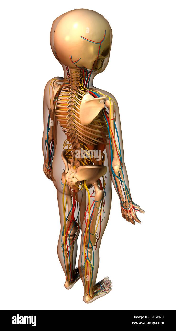 Anatomie Des Kindes Mit Organen Child Anatomy With Organs Stock