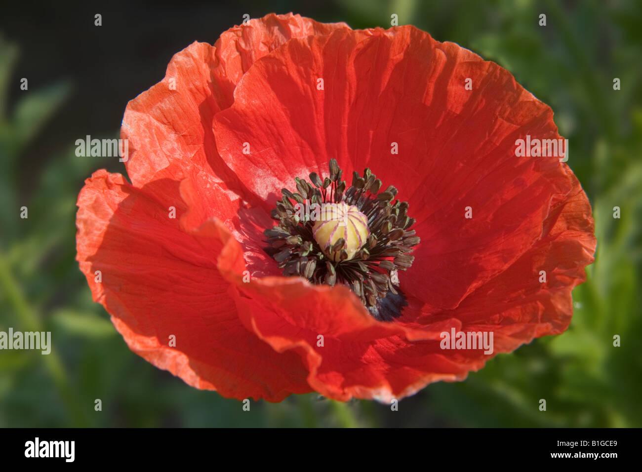 Poppy flower stock photos poppy flower stock images alamy red poppy flower stock image mightylinksfo
