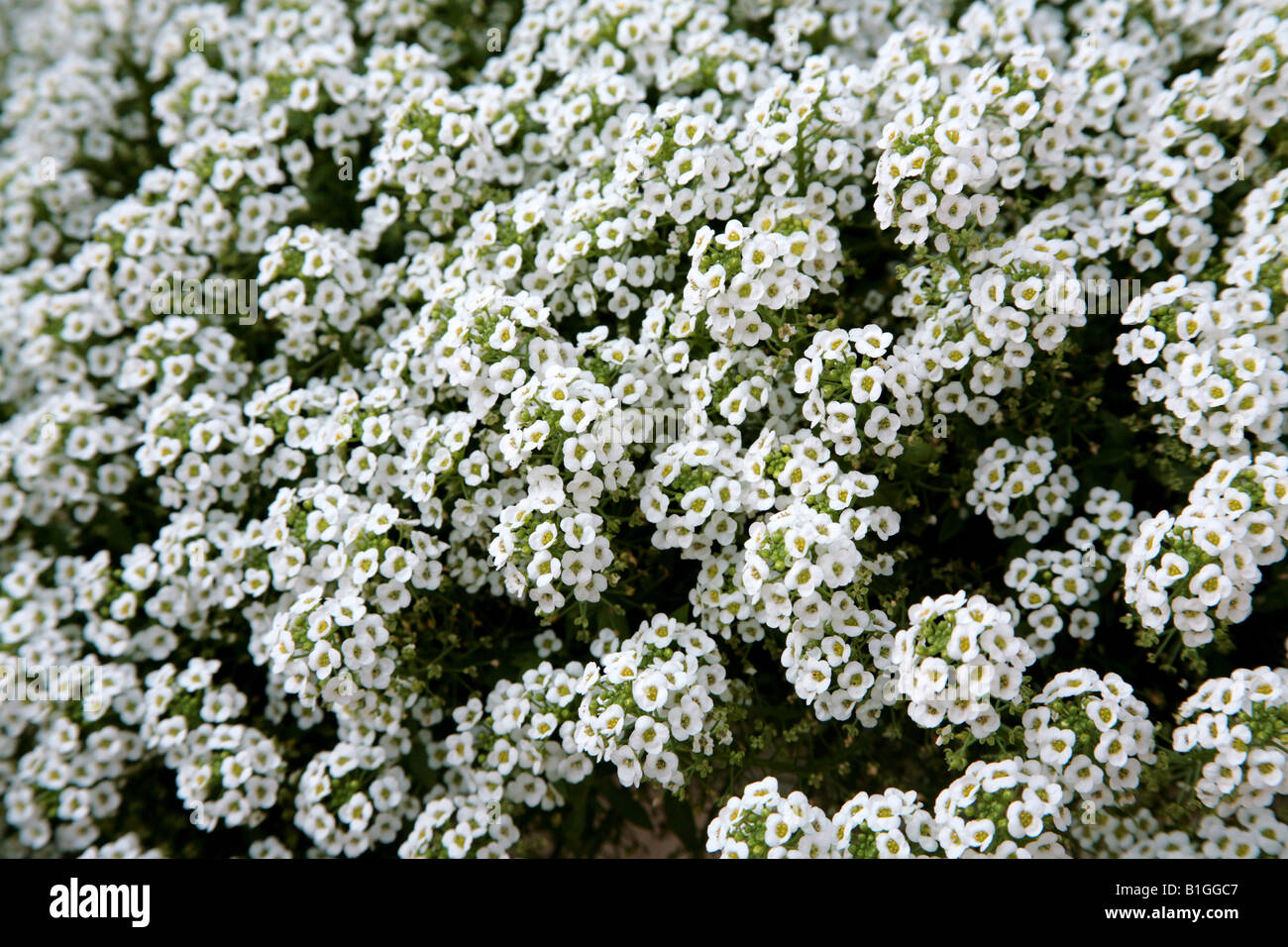 Small White Flowers In A Garden In Central Florida Stock Photo