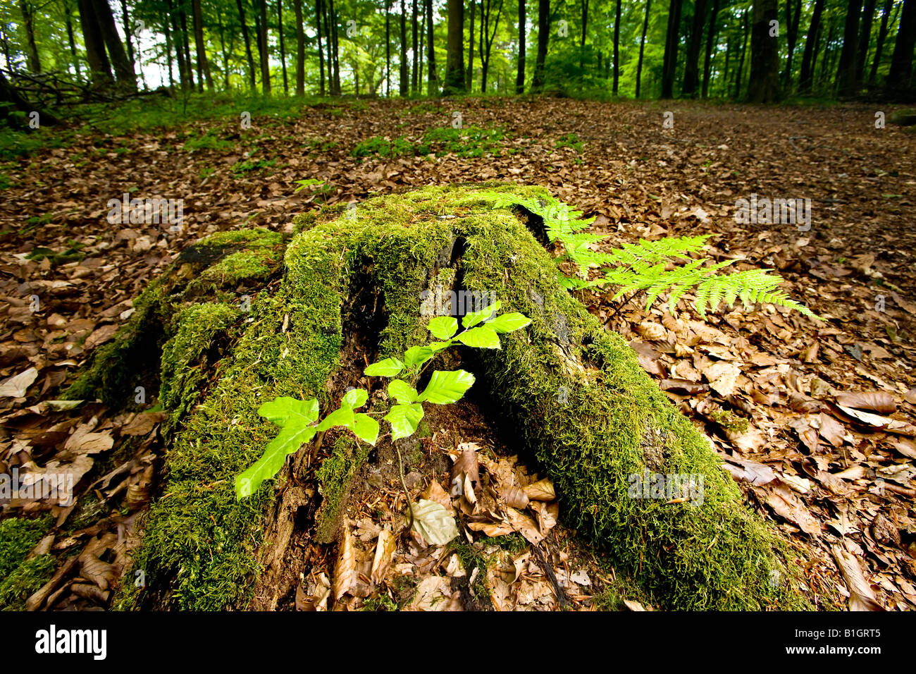 Old stumb at the forest floor - Stock Image