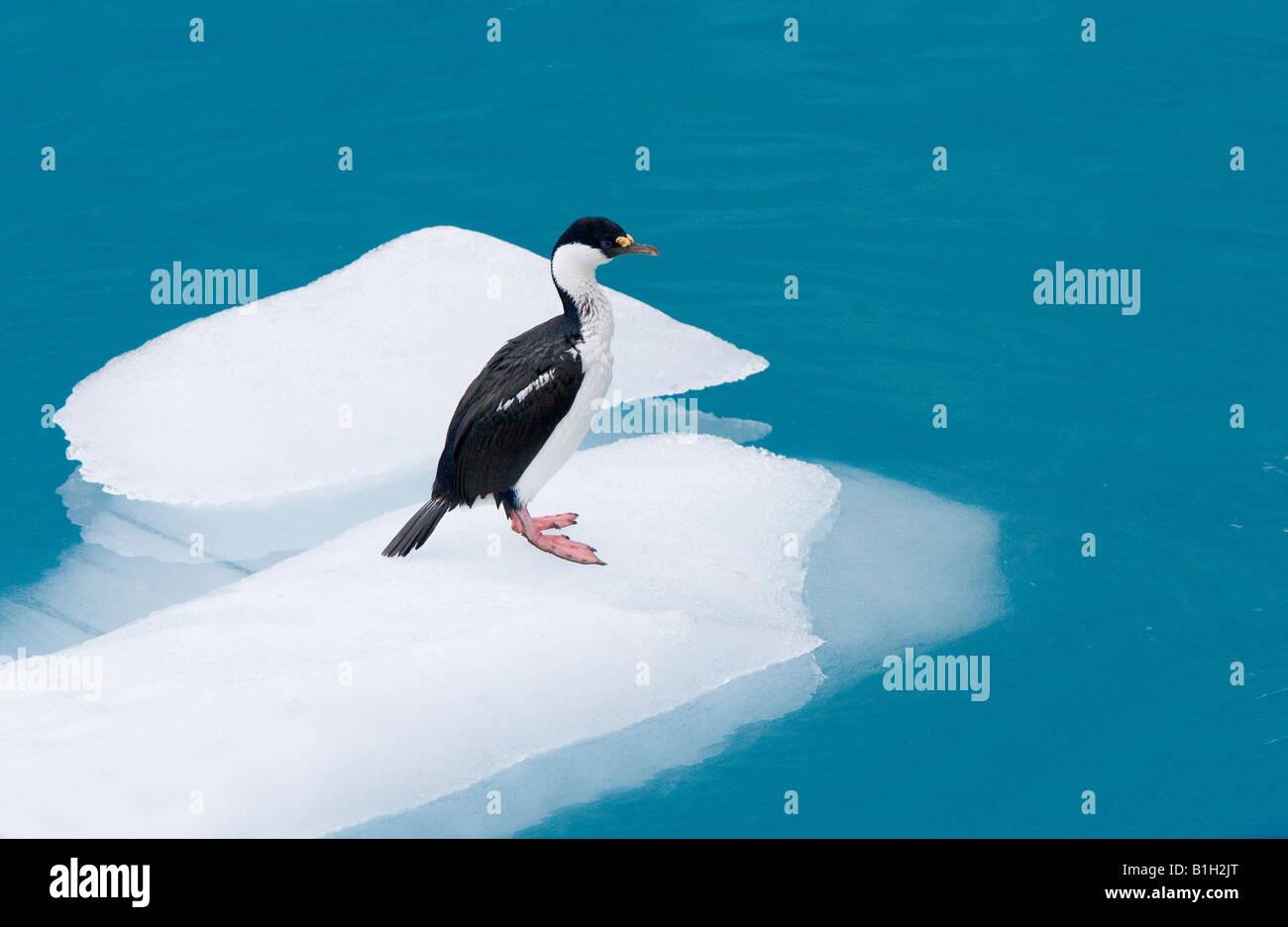 South Georgian shag (Phalacrocorax georgianus) sitting on an iceberg - Stock Image