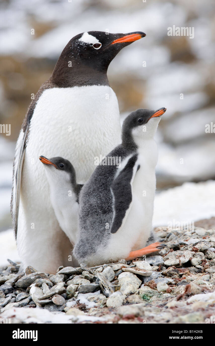 Gentoo penguin (Pygoscelis papua) with its young ones, Antarctica - Stock Image