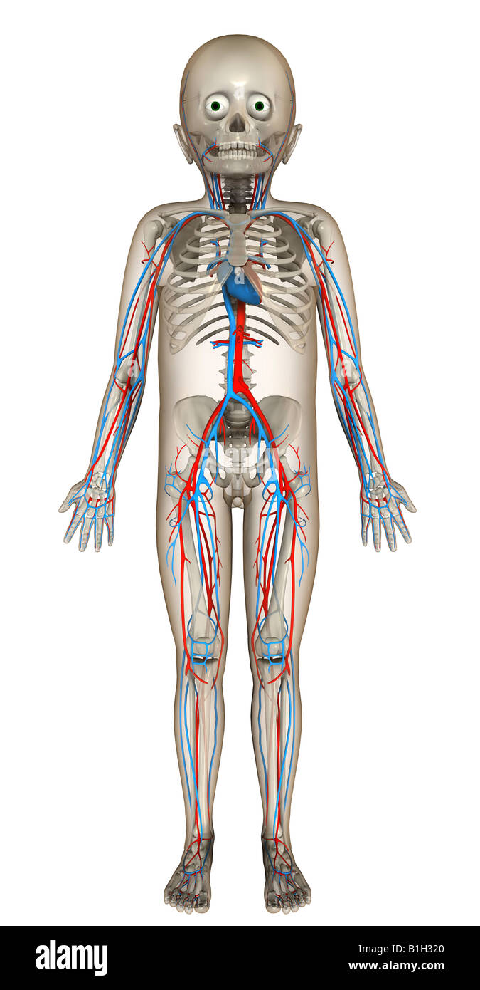 anatomy circulation skeleton Stock Photo