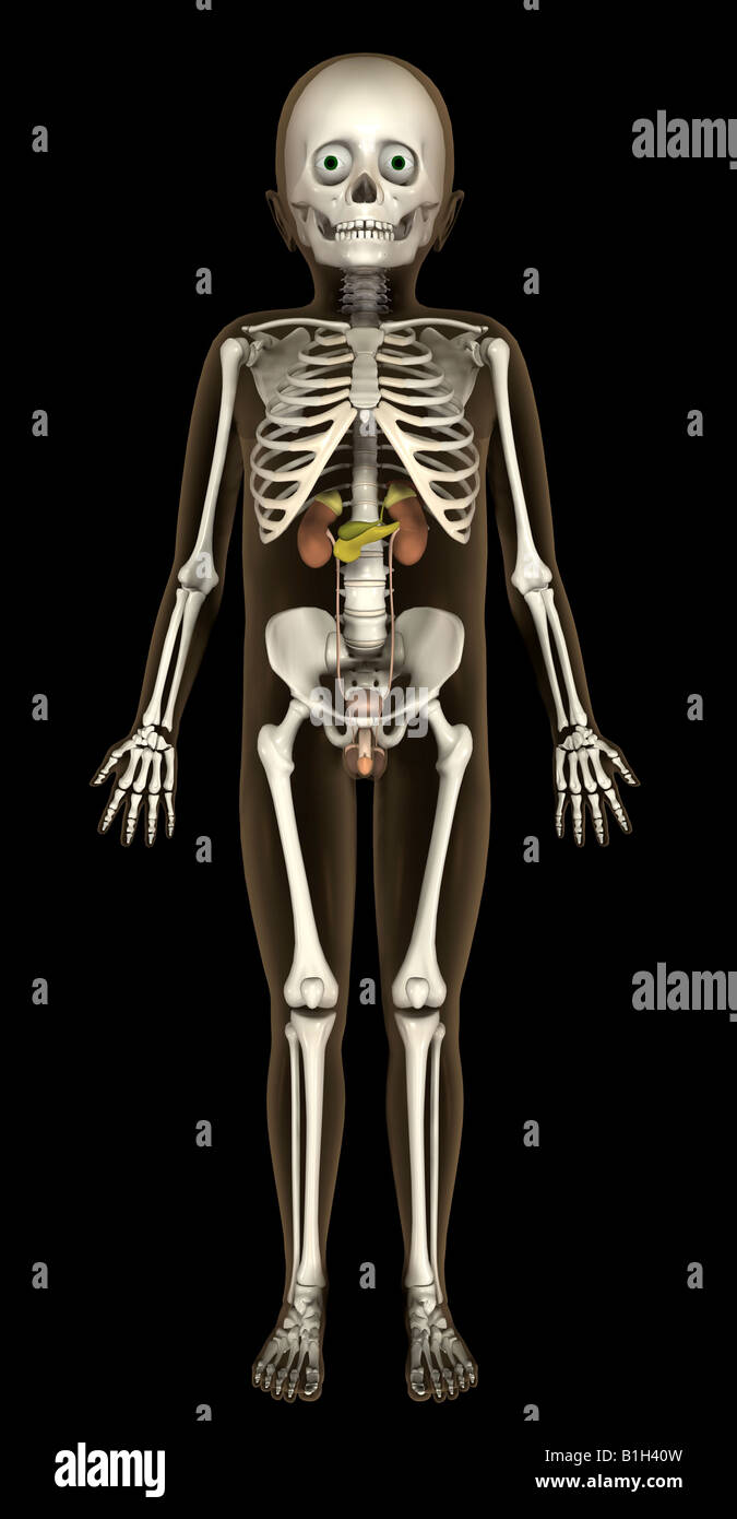 anatomy skeleton urinary - Stock Image