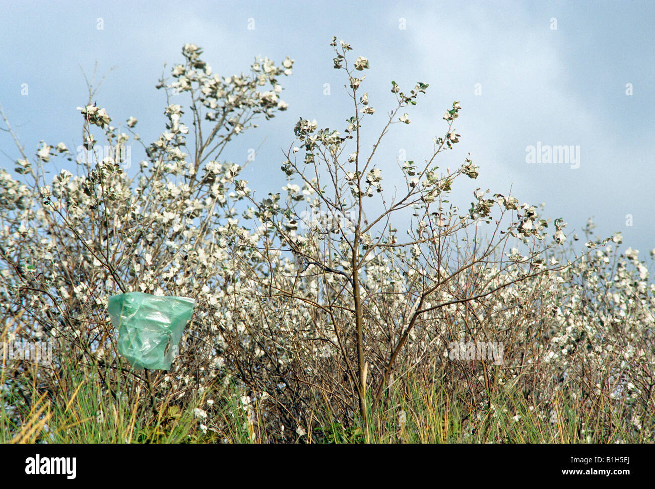 Plastic bag caught on plant - Stock Image