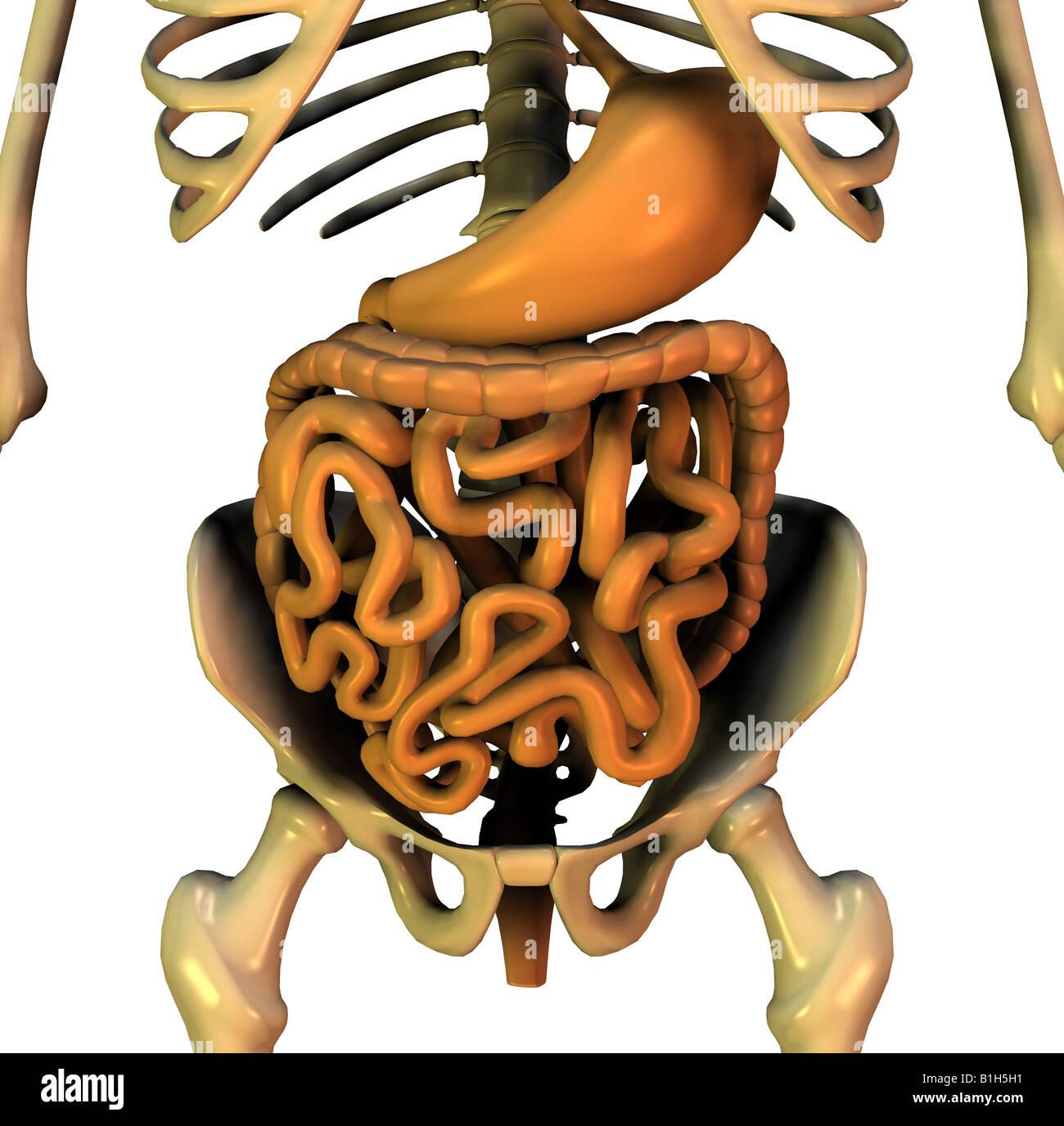 anatomy pelvic digestion Stock Photo: 18202605 - Alamy