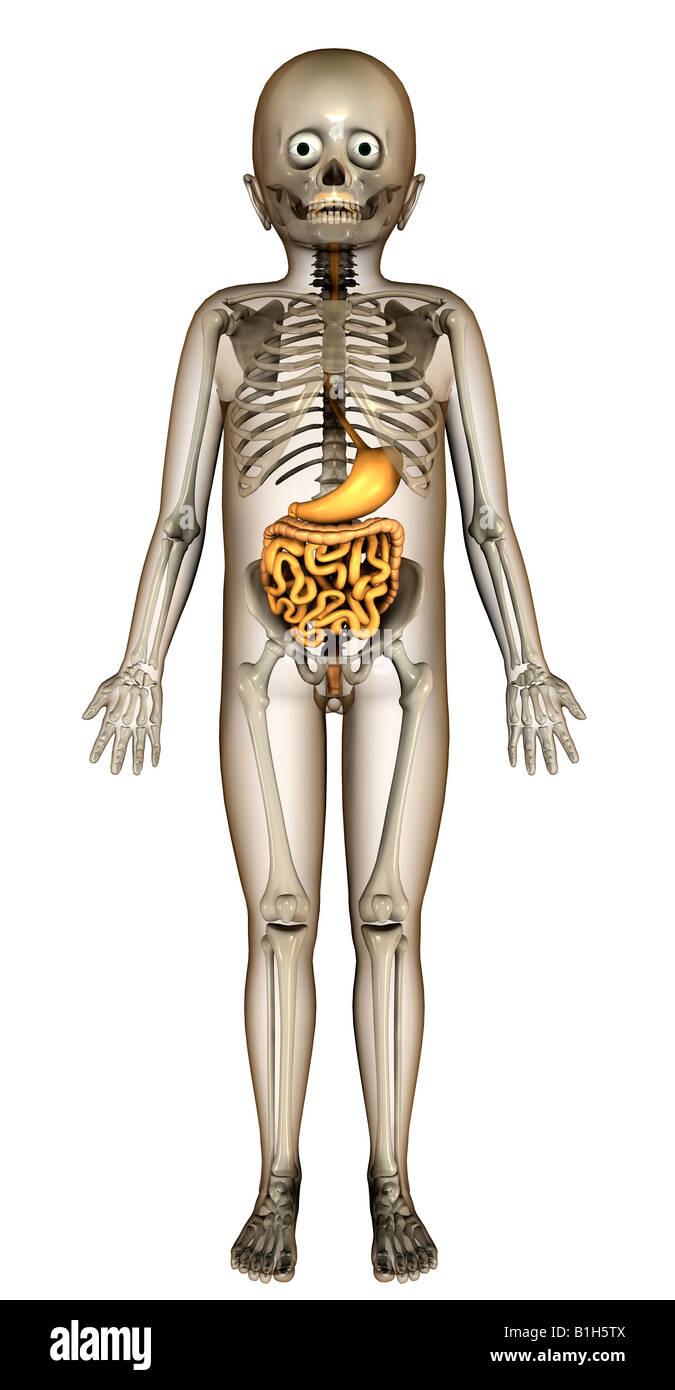 anatomy child with digestive Stock Photo: 18202826 - Alamy