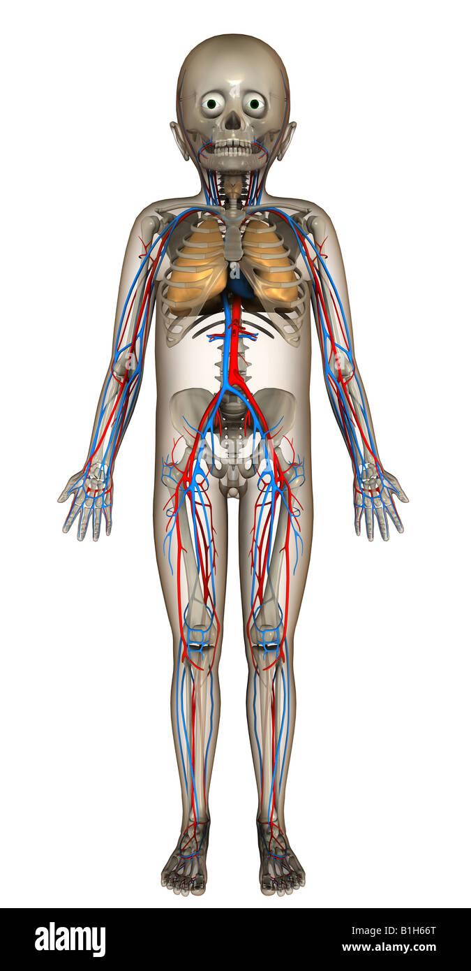Blutgefäße Stock Photos & Blutgefäße Stock Images - Alamy