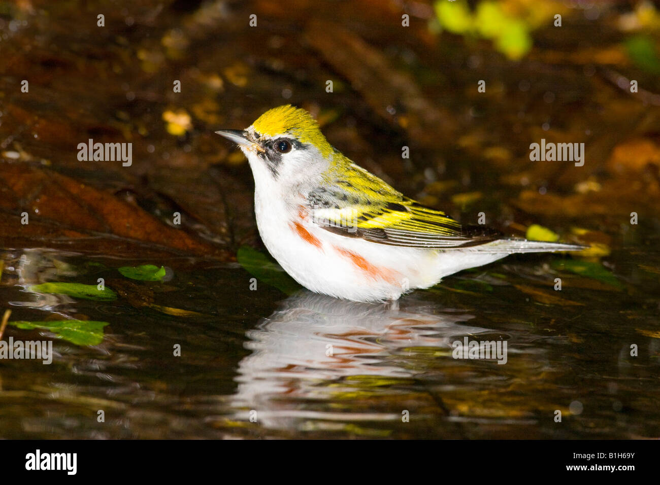 Reflection of a Chestnut-Sided warbler (Dendroica pensylvanica) in water Stock Photo