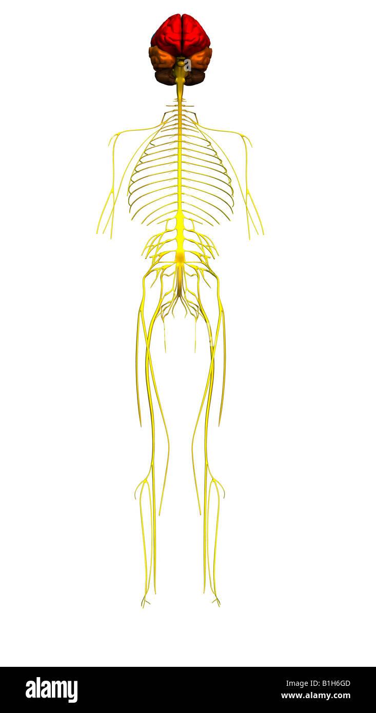 Ungewöhnlich Hirnnerv 7 Anatomie Galerie - Menschliche Anatomie ...