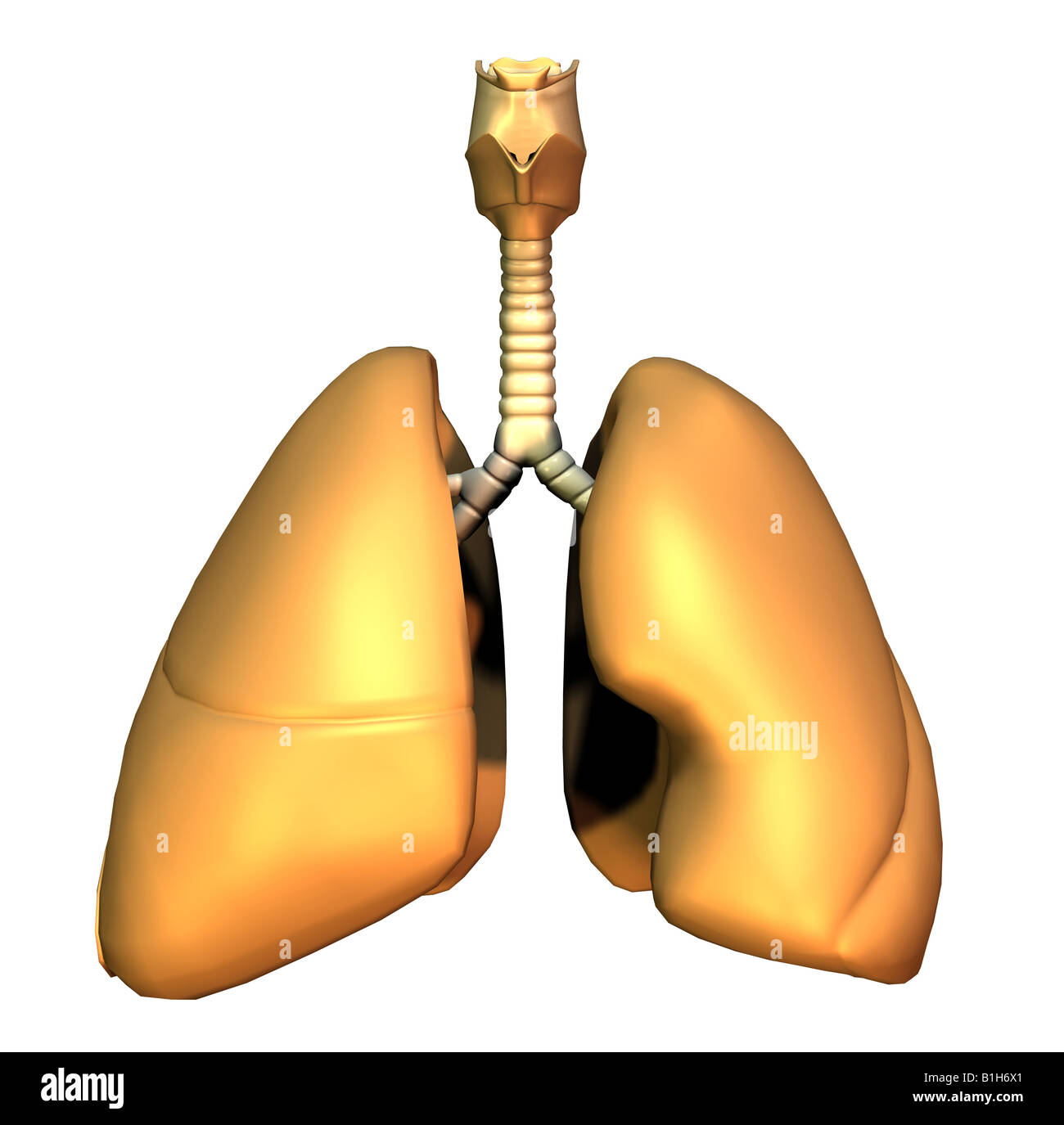 anatomy lungs - Stock Image
