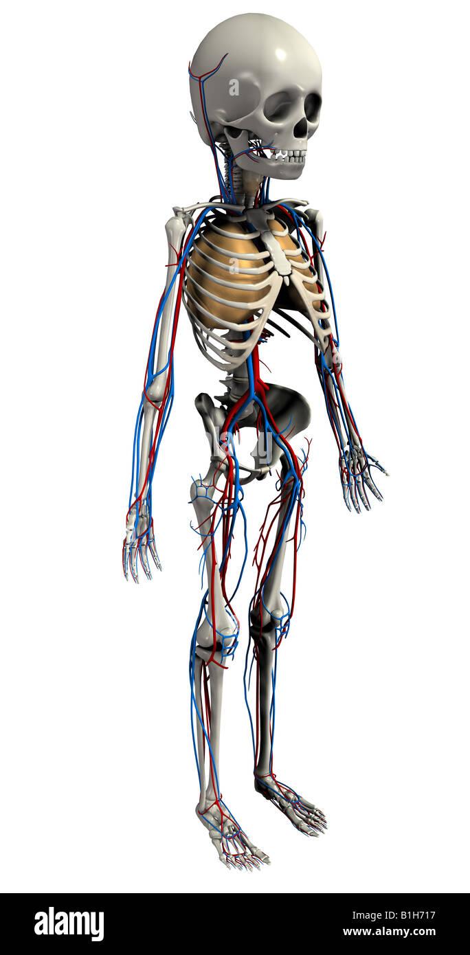 Anatomy Heart Lungs Pulmonary Artery Stock Photos & Anatomy Heart ...