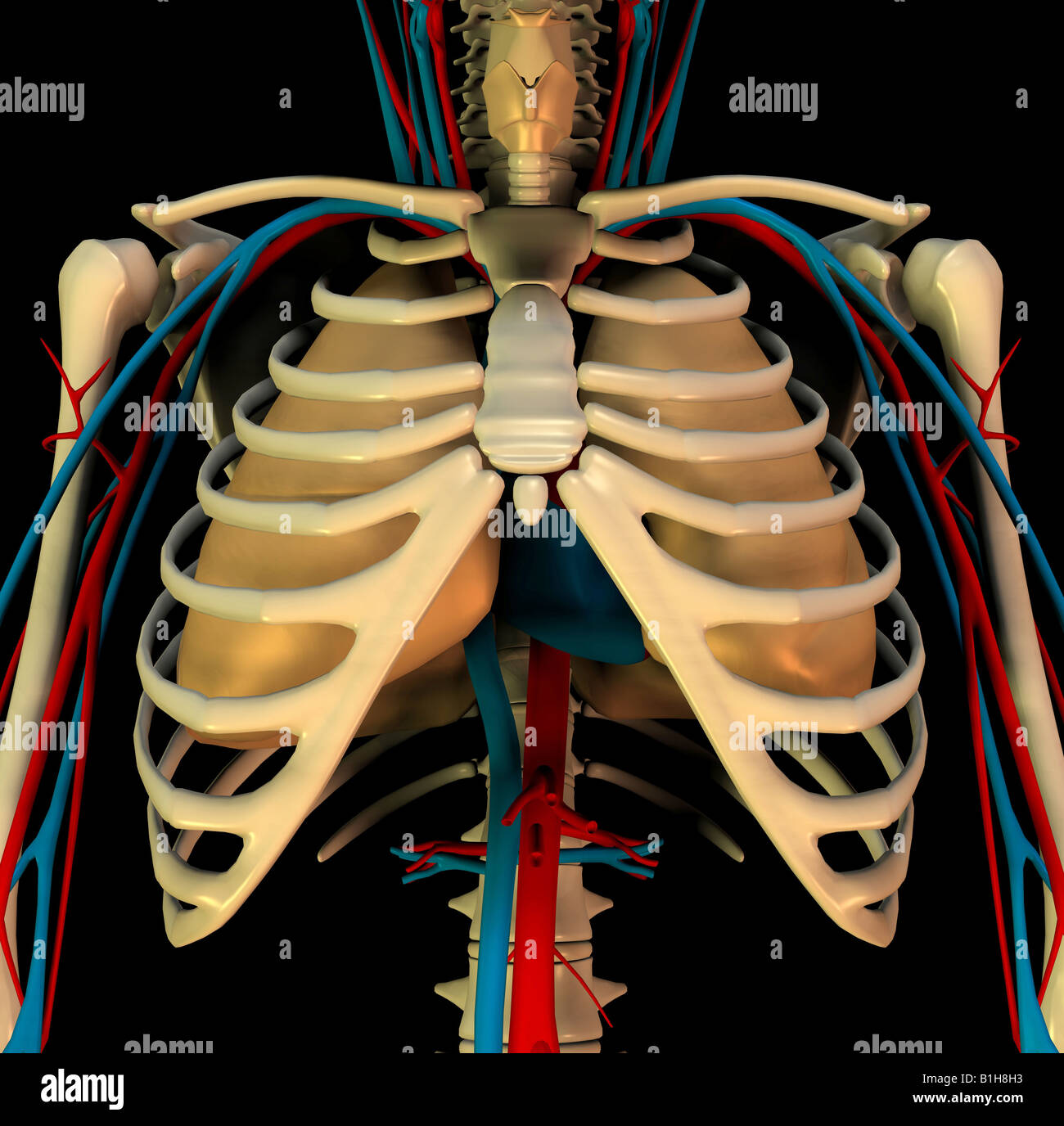 anatomy circulation heart lungs - Stock Image