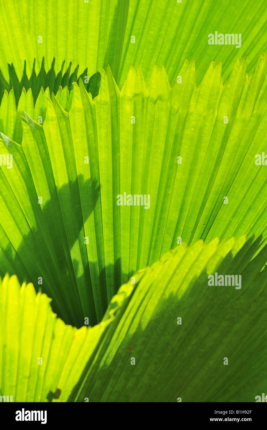 Close up of tropical palm leaves - Stock Image