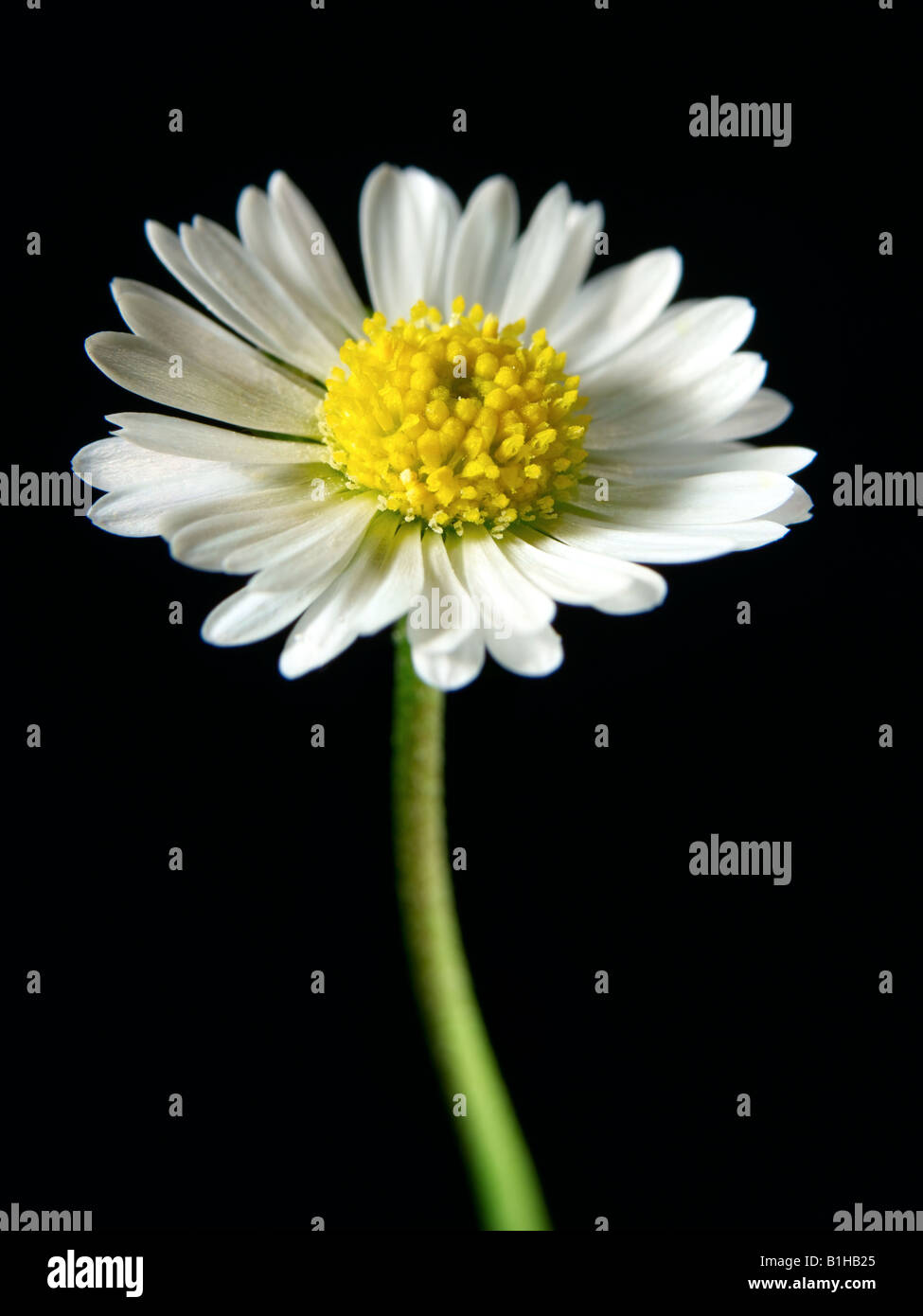 daisy flower - Stock Image