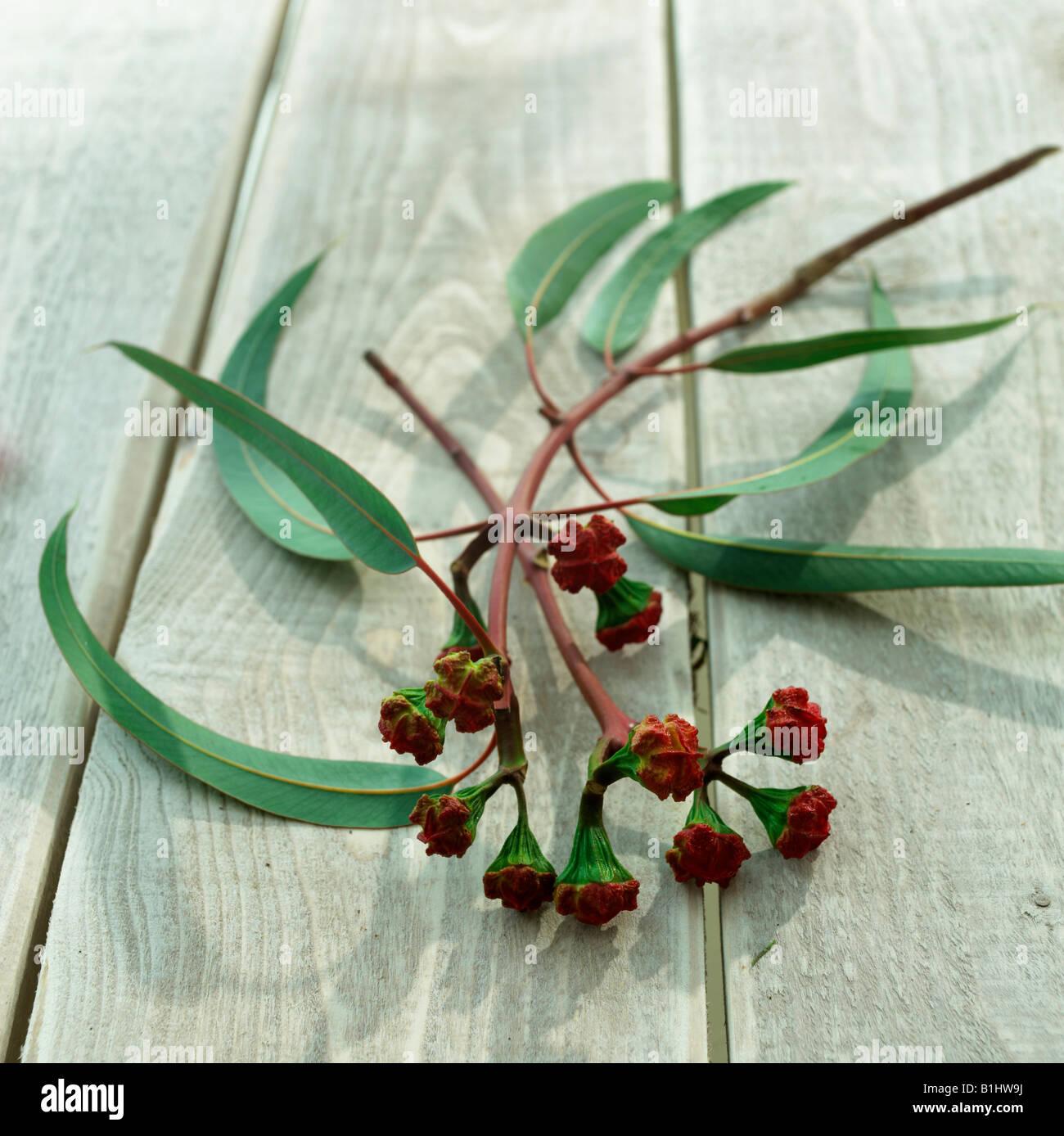 Eucalyptus twig with buds - Stock Image