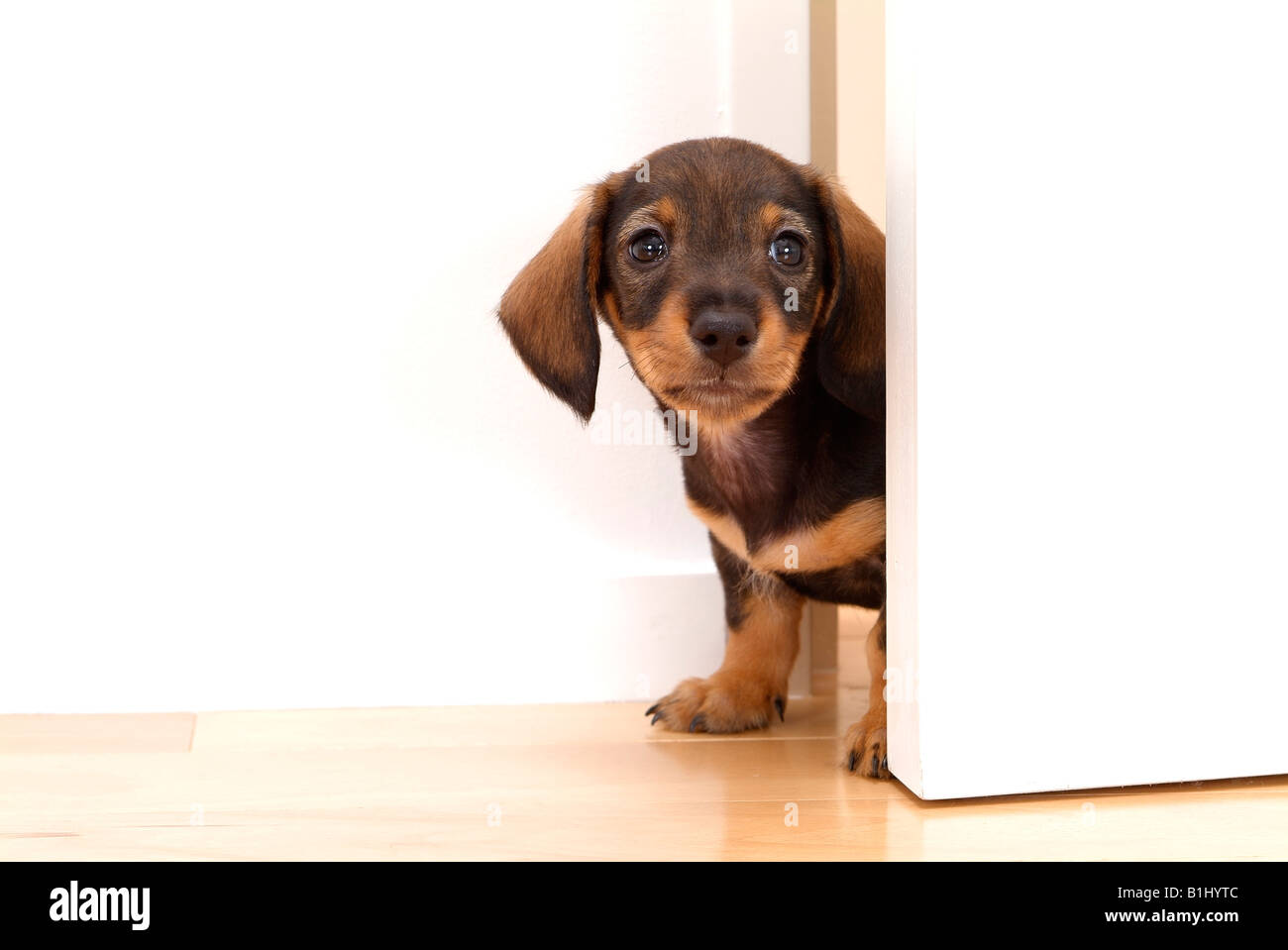 Close-up of a dachshund puppy peeking from a door  sc 1 st  Alamy & Close-up of a dachshund puppy peeking from a door Stock Photo ...