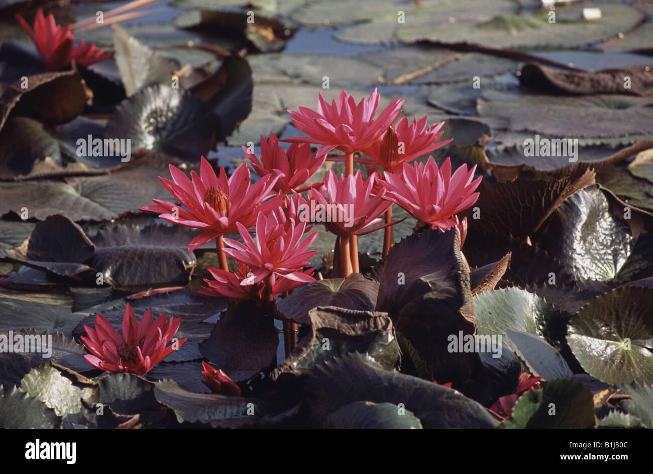 Water lilies in a pond tamil nadu india stock photo 18222524 alamy water lilies in a pond tamil nadu india izmirmasajfo
