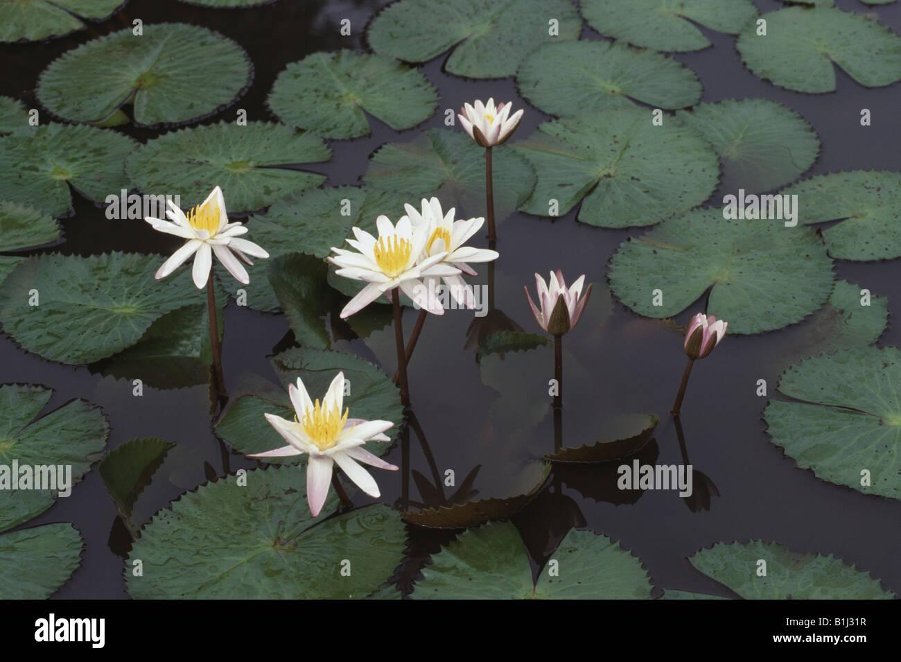 Water lilies in a pond tamil nadu india stock photo 18222563 alamy water lilies in a pond tamil nadu india izmirmasajfo