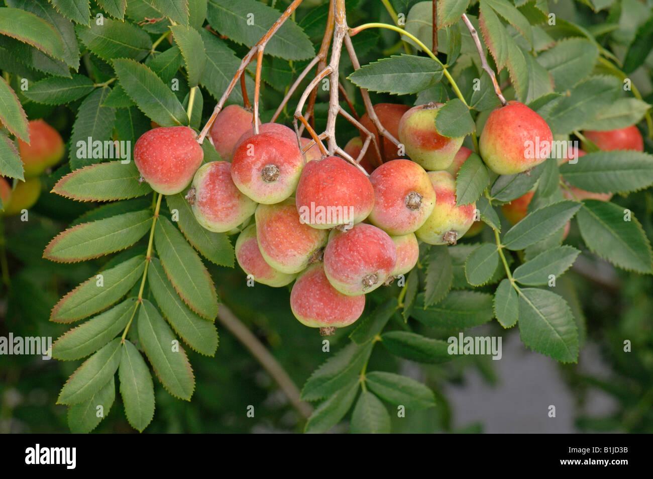 True Service Tree (Sorbus domestica Sossenheimer Riesen), fruit on tree Stock Photo