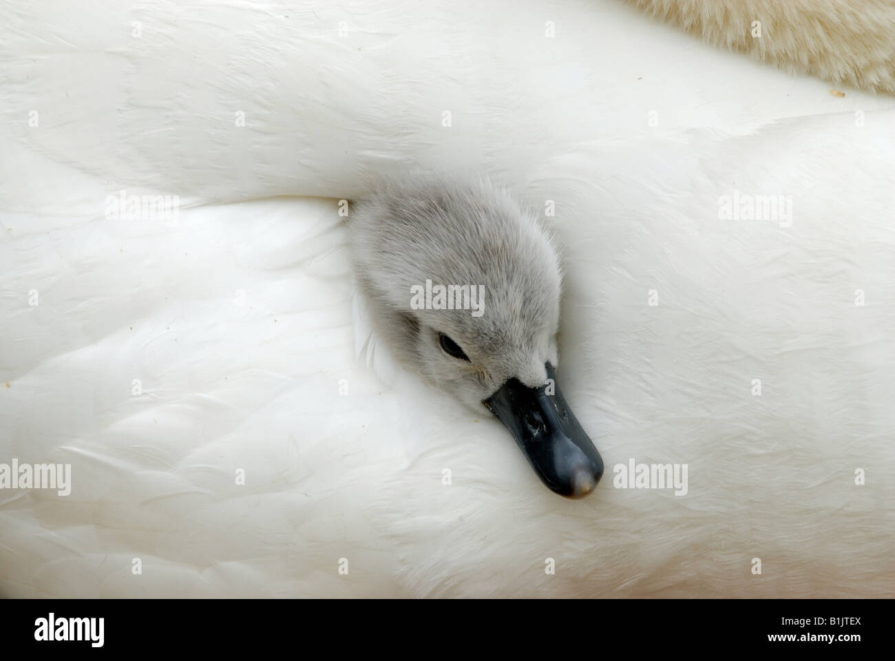 Very young mute swan cygnet sticking his head out from between mothers wing feathers Abbotsbury - Stock Image