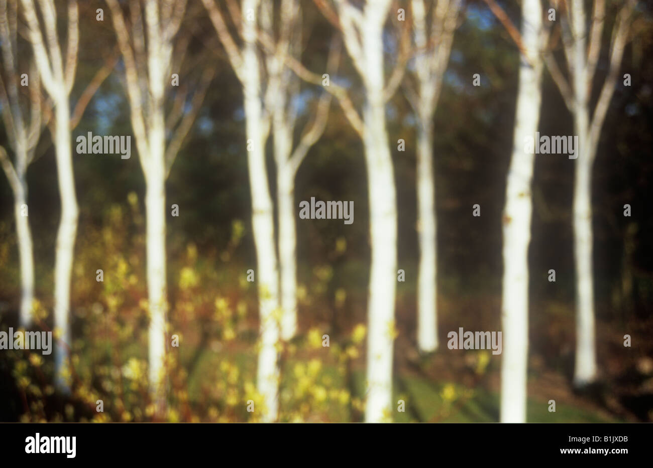 Impressionistic copse of nine white treetrunks of Silver birch with yellow buds and red stems of Dogwood - Stock Image