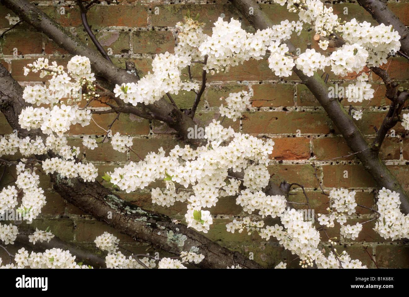 Plum Fruit tree white blossom wall trained fan garden plant Stock ...
