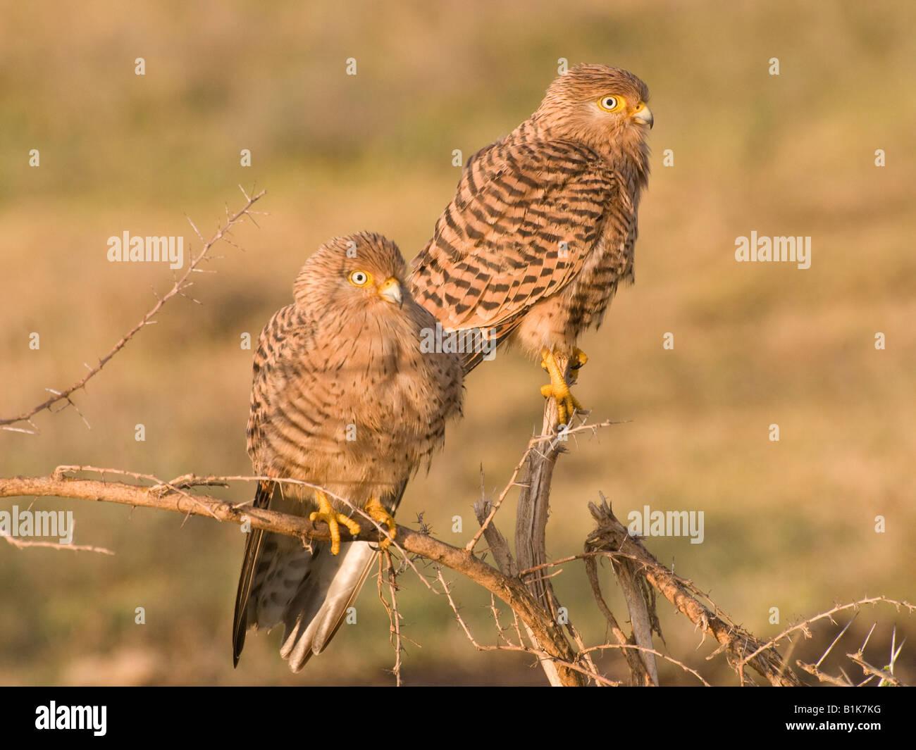 Pair of roosting Kestrels - Stock Image