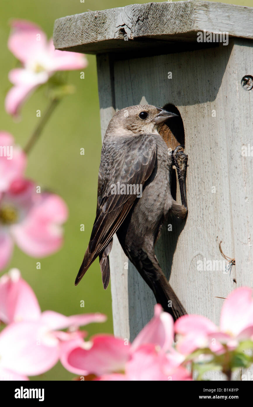 Female Brown headed Cowbird Investigating Potential Host Nest Vertical - Stock Image