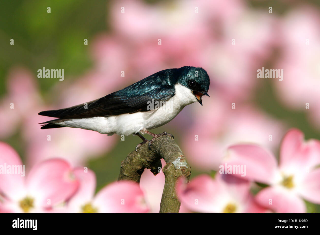 Tree Swallow Perched in Dogwood Blossoms - Stock Image