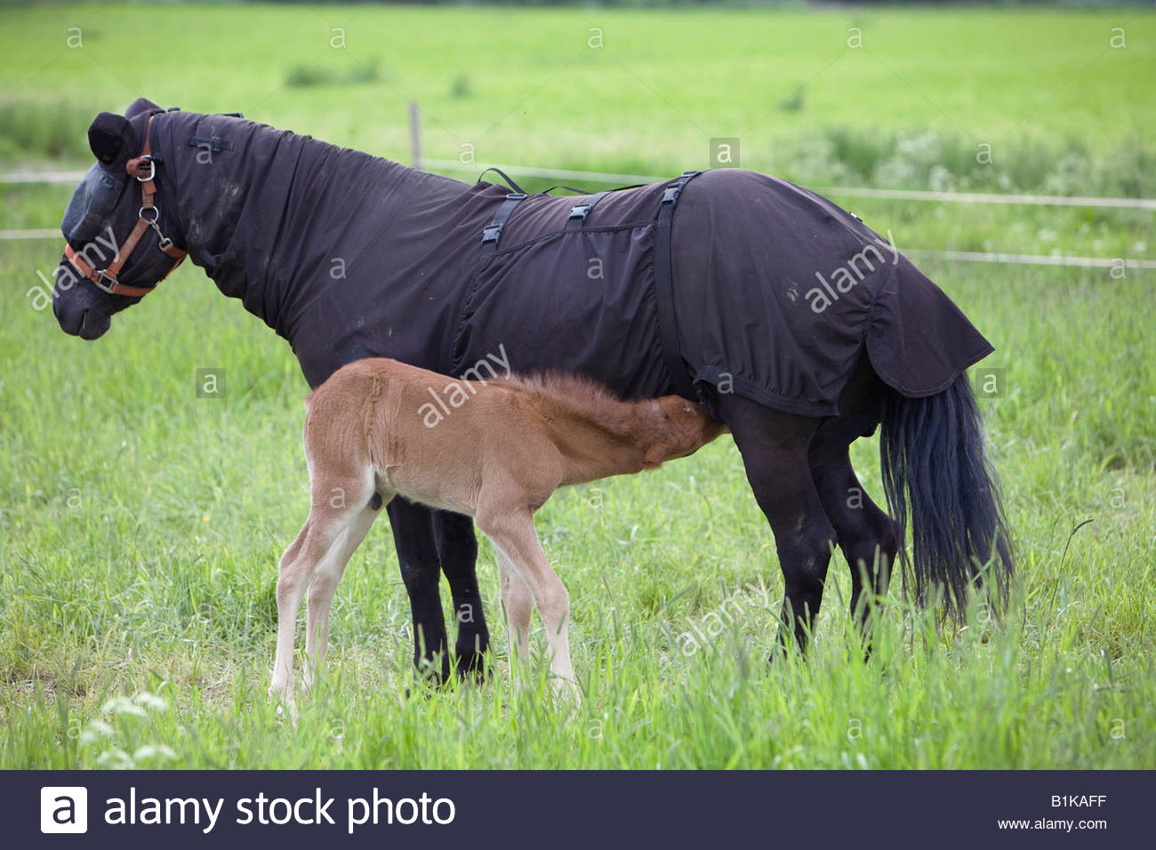 A four day old foal of a Icelandic horse gets milk from it s mother which is covered due of mosquitos - Stock Image
