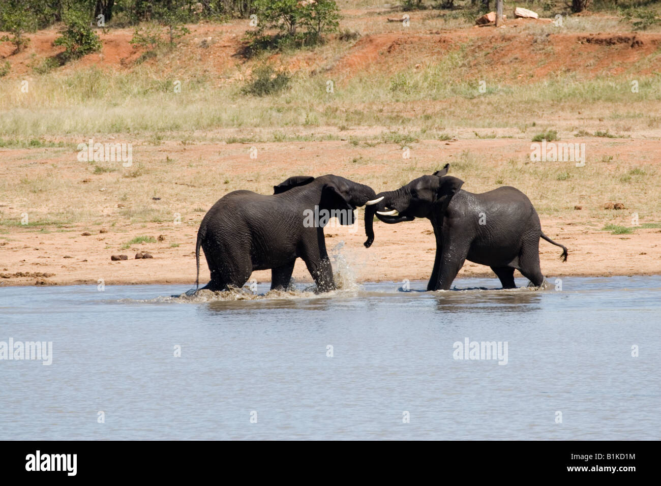 African elephant young bulls fight in a mock battle for dominance viewed from the Sable Hide in Kruger NP, South - Stock Image