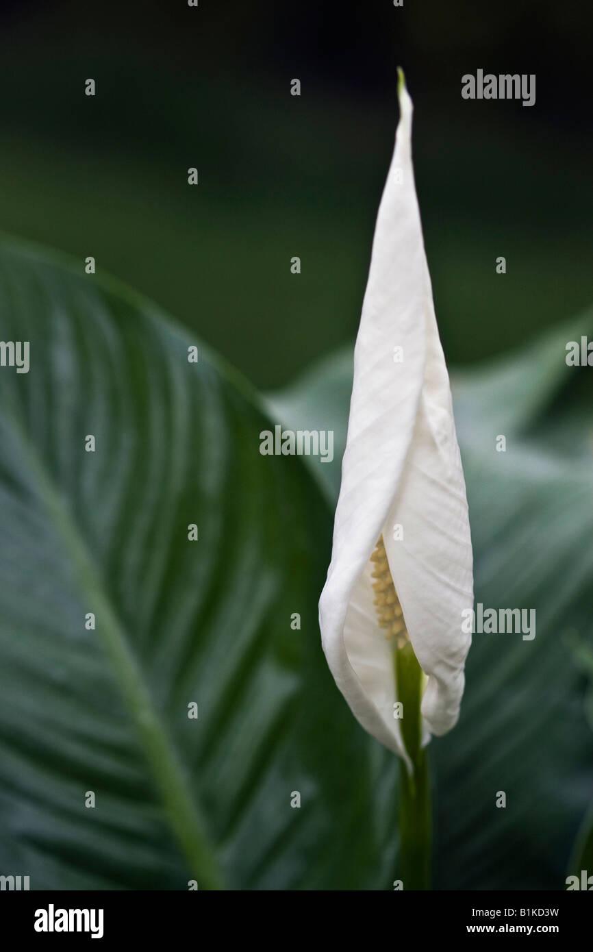 White peace lily spathiphyllum houseplant flower extreme close up white peace lily spathiphyllum houseplant flower extreme close up closeup detail macro nobody no not people studio izmirmasajfo