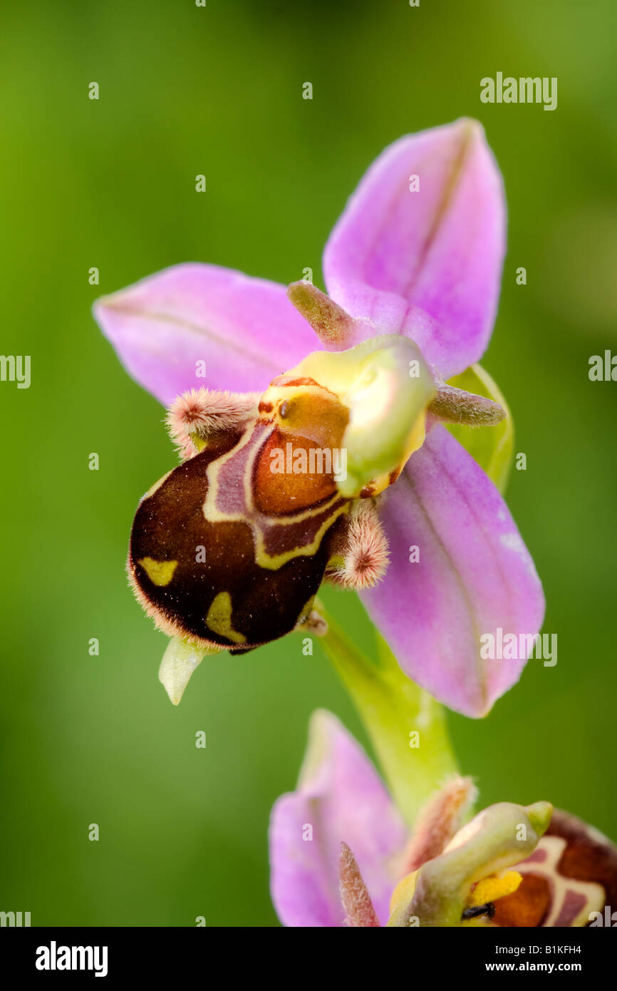 Bee Orchid (Ophrys apifera) - Stock Image
