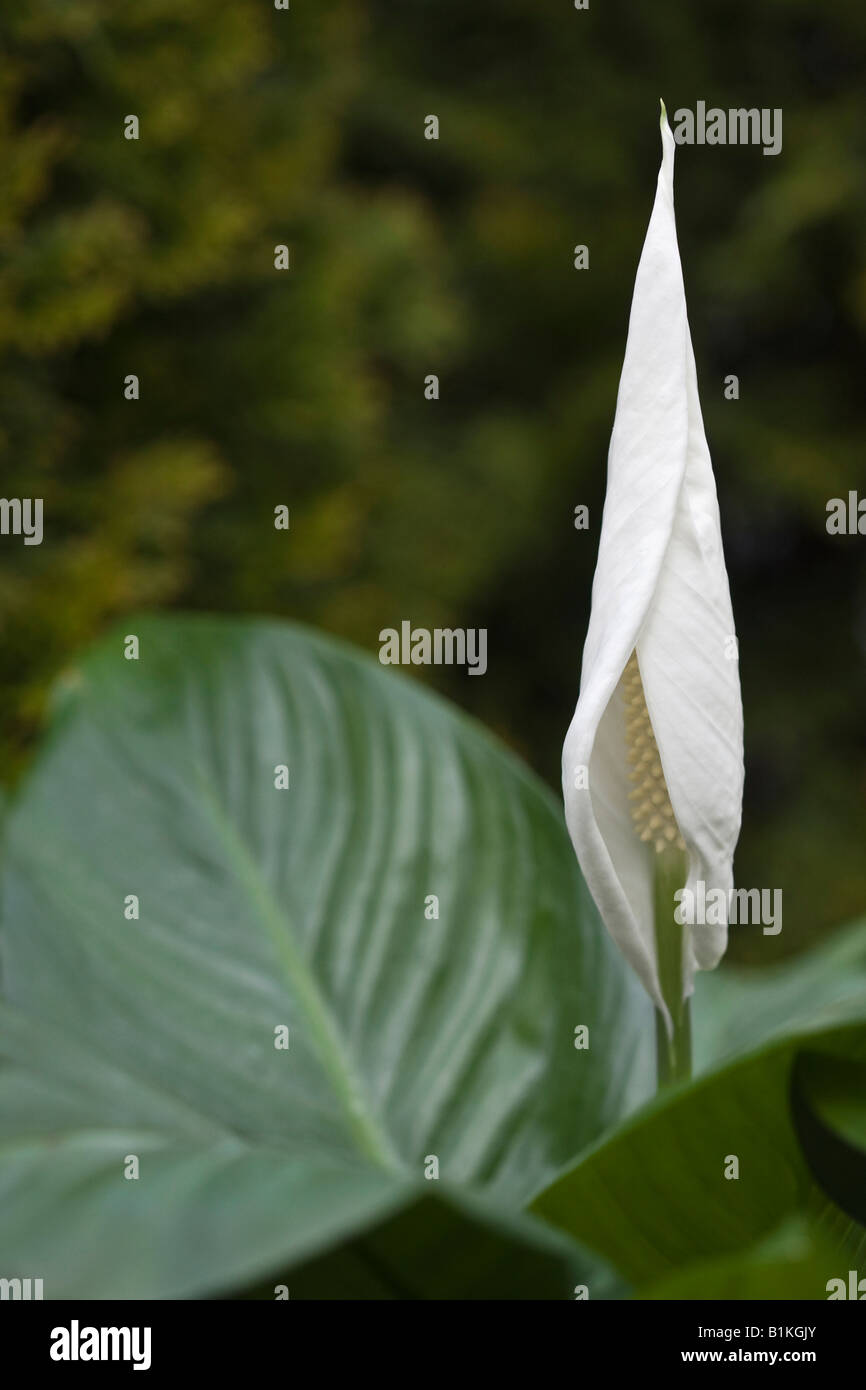 White Spathiphyllum Peace Lily Flower On Green Background Nobody Not