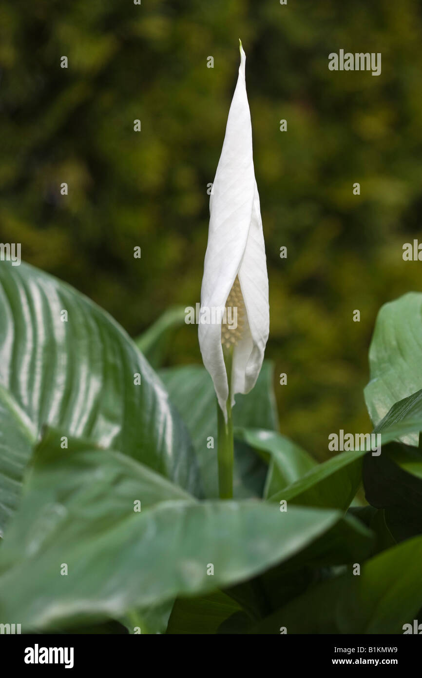 White spathiphyllum peace lily flower on green background nobody not white spathiphyllum peace lily flower on green background nobody not people from above izmirmasajfo