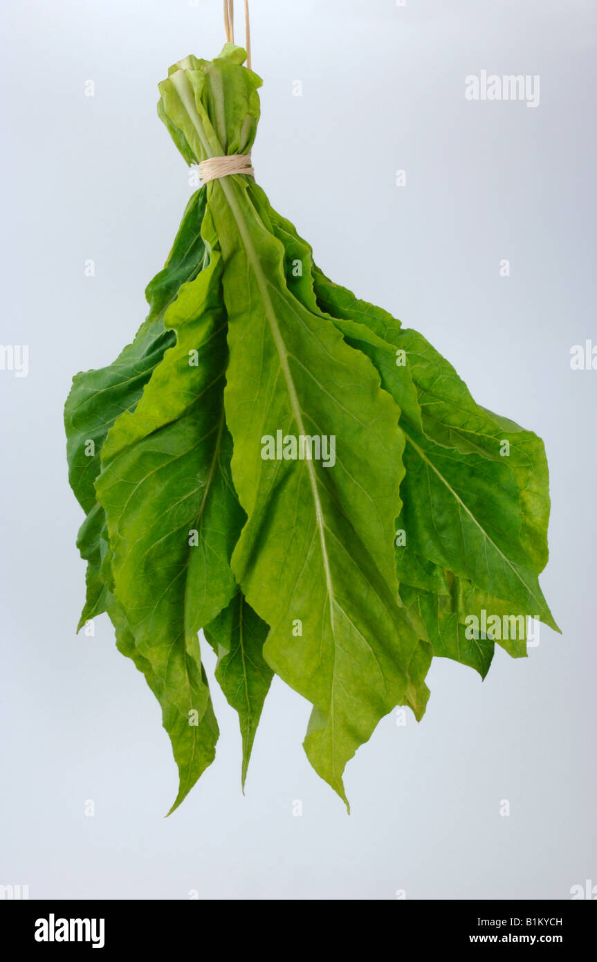 Common Tobacco, Tobacco (Nicotiana tabacum), bundle of leaves, studio picture - Stock Image