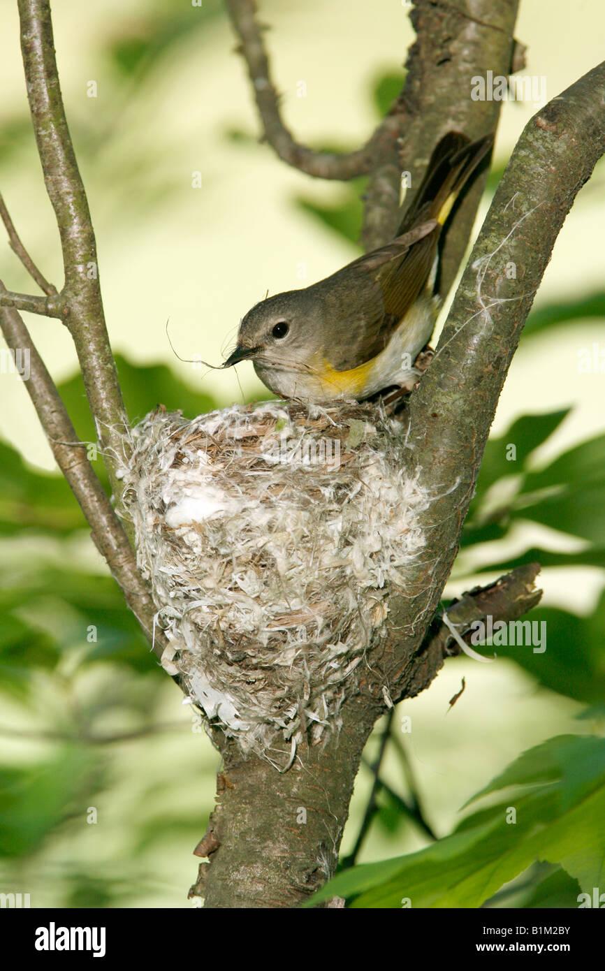 Female American Redstart Building Nest - Vertical - Stock Image