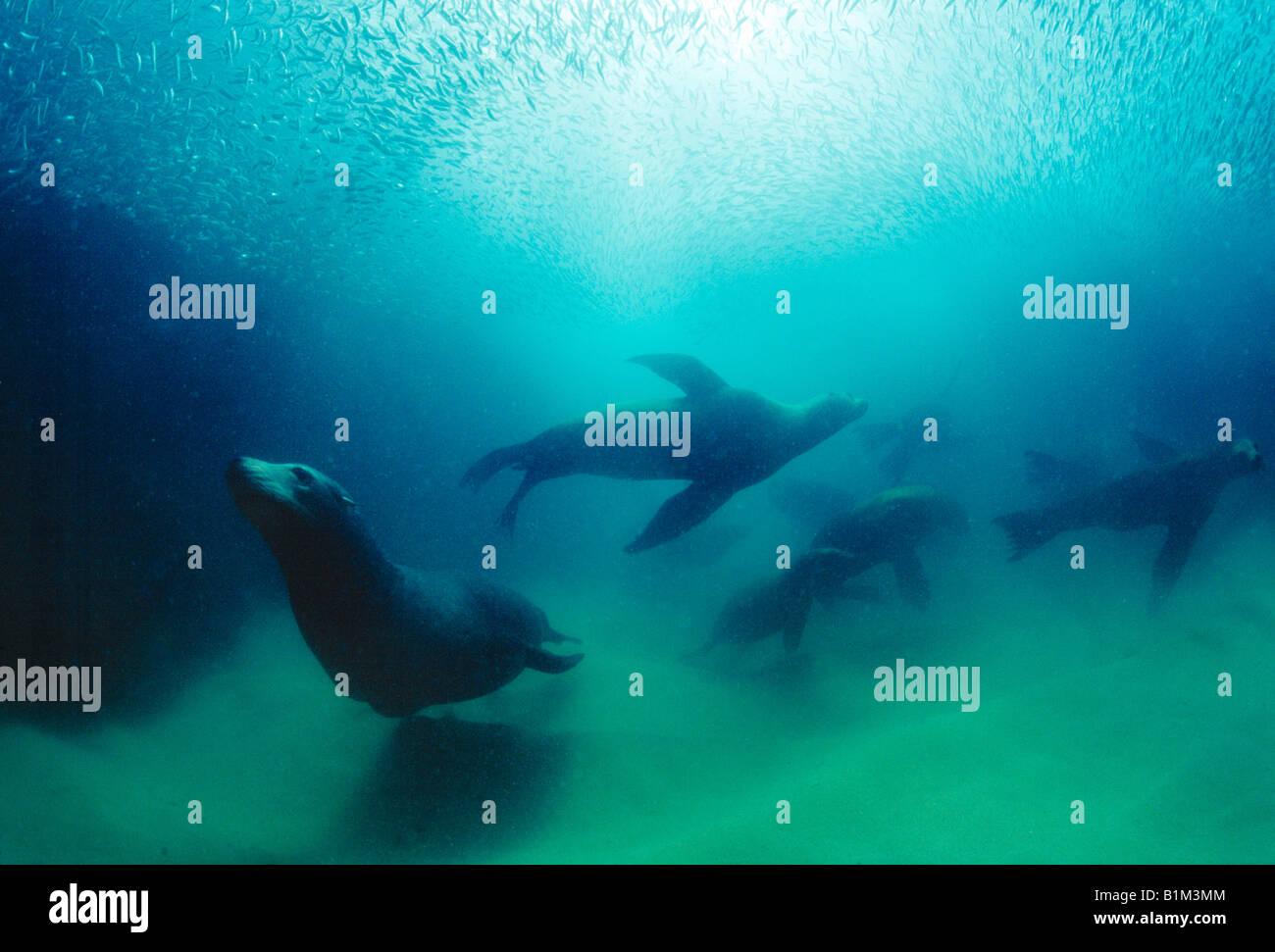 Wildlife, Mammal, Sea Lions underwater, Mexico, Baja Peninsula, - Stock Image