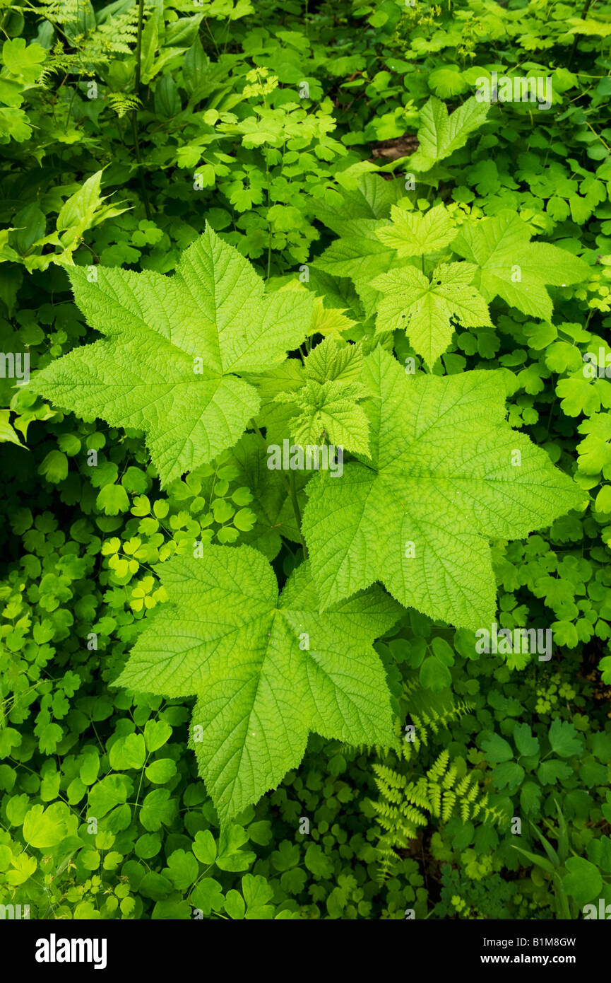Spring leaves, Eastern Cascade Mountains, Washington State - Stock Image