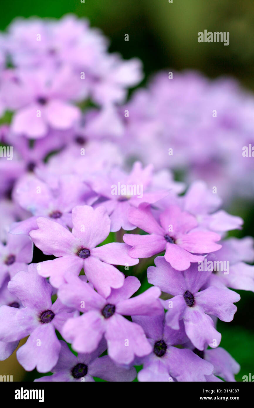 VERBENA LA FRANCE - Stock Image